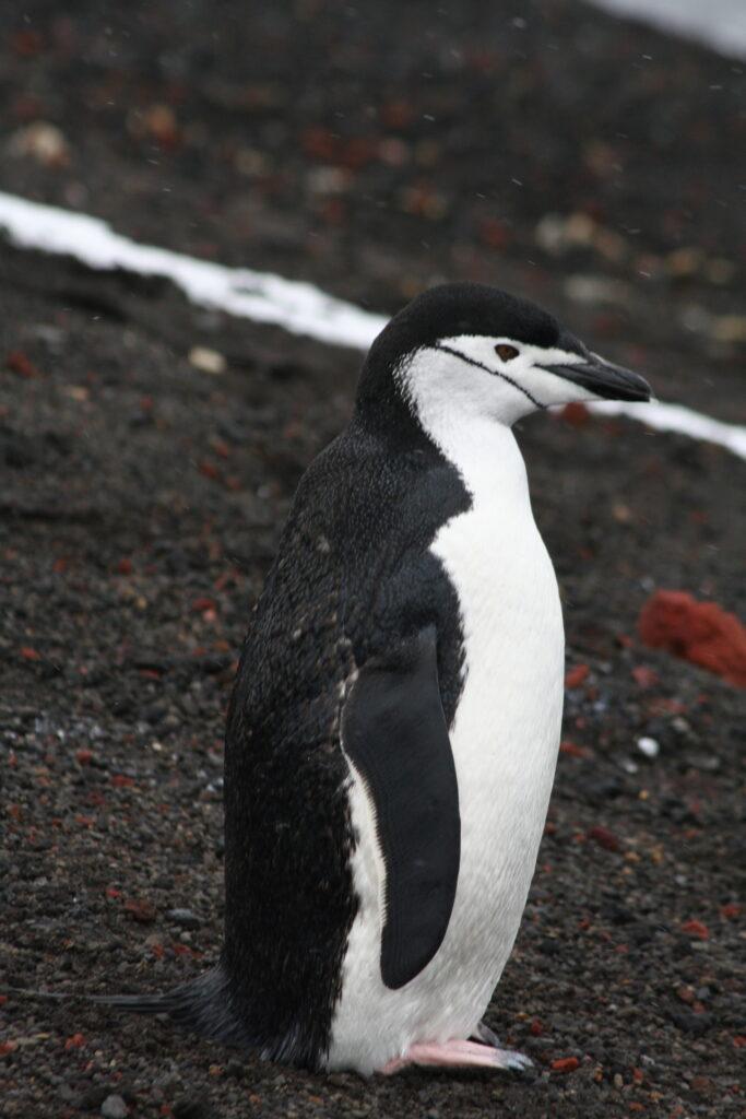 Antarctica chinstrap penguin