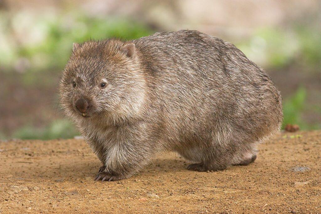 Wombat, Australia, Wikipedia