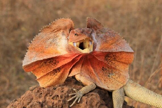 Frillneck lizard in Australia