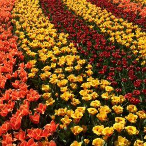 Tulips at Keukenhof gardens in Lisse, Netherlands