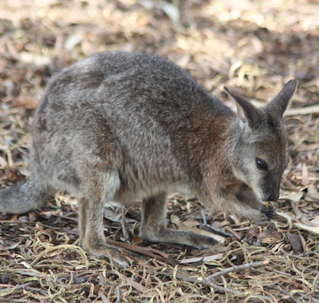 Wallaby (mini kangaroo) in Australia