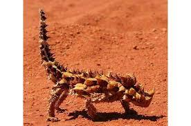 Thorny Devil lizard in Australia