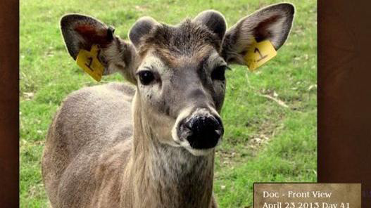 when do deer shed their antlers - young buck