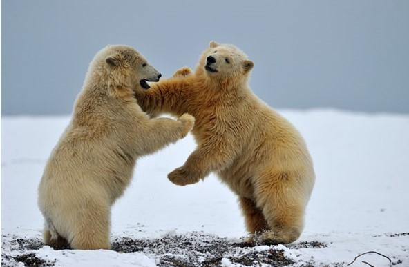Photo of 2 polar bears at play in Alaska's Arctic Circle.