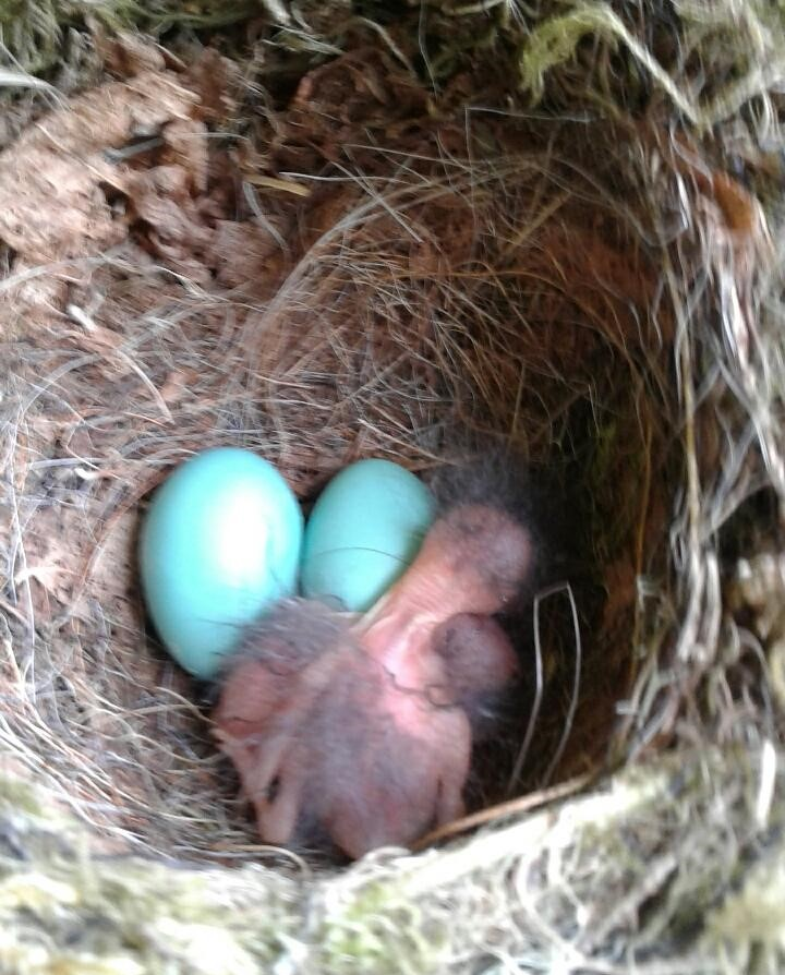 Photo of robin's nest with blue eggs and baby robins found in flower basket at Pearson's Pond Luxury Inn and Adventure Spa