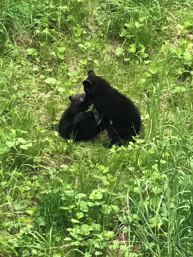 Two new black bear cubs at play in the green grass of Juneau, Alaska.