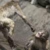 soy aggressive monkeys