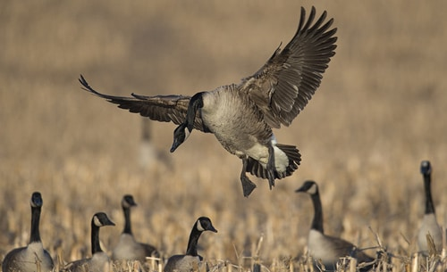 Goose Hunts in MD