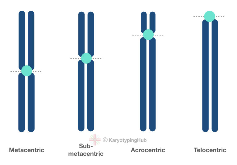 Different groups of chromosomes based on centromere location.