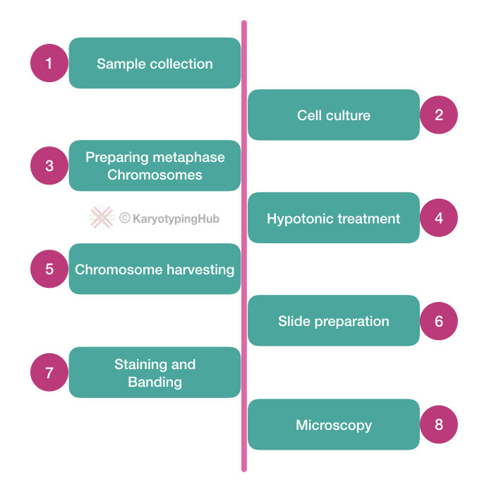 Steps and process of karyotyping.