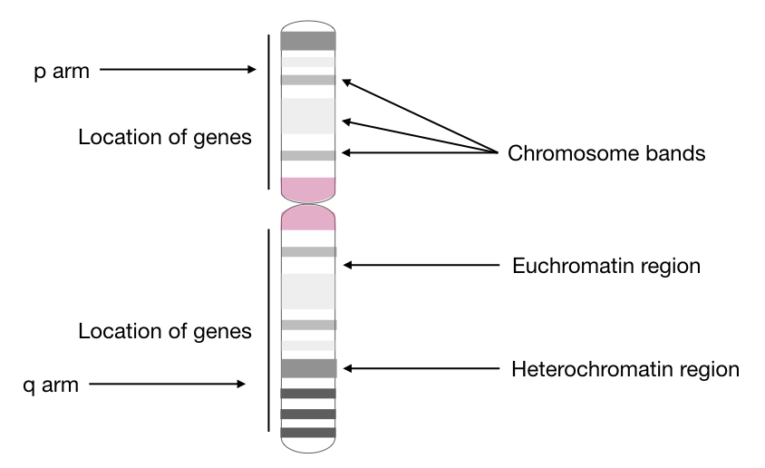 Top Labeled Chromosome Images, Diagrams and Structure