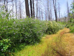 Image of Ceanothus re-growth at Boggs Mountain along a trail in the spring
