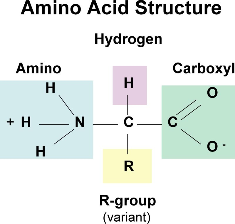 Amino acid structure (functional groups)