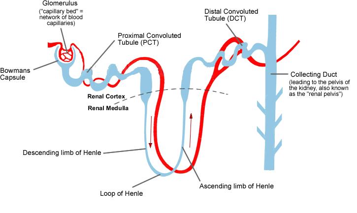 Nephron diagram