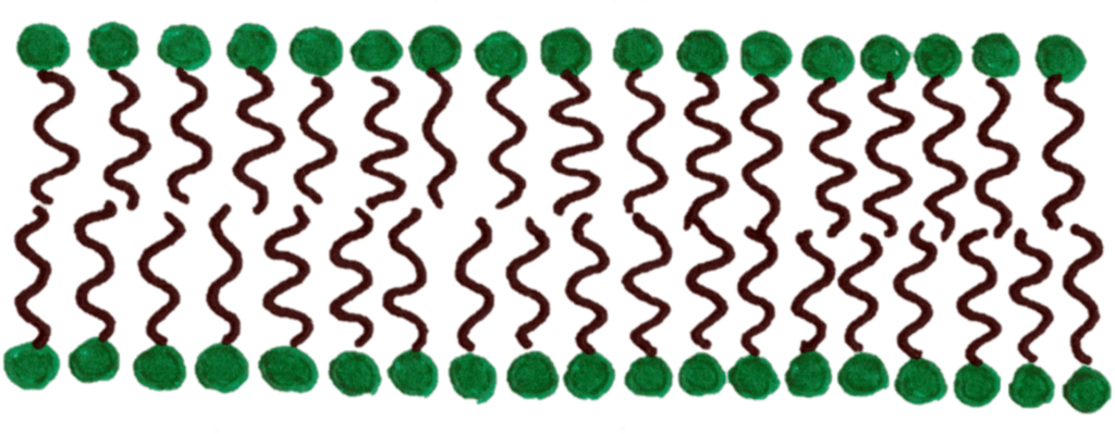 Phospholipid bilayer structure
