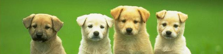 four-puppies