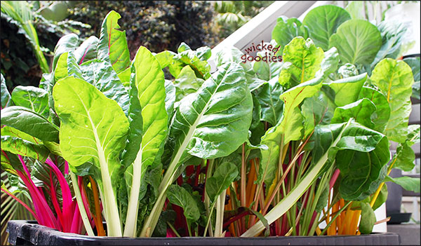 Swiss chard and beets green urban garden recycled container