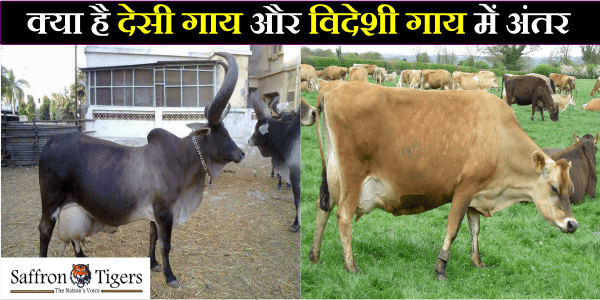 difference-between-jersey-and-desi-cow
