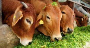 Cow killed by Gun Shots