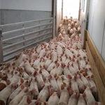 SF: Pork Powerhouse 2016: Glut of Pigs