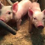 SF: Pork Powerhouses 2017: Expansion Spells Trouble