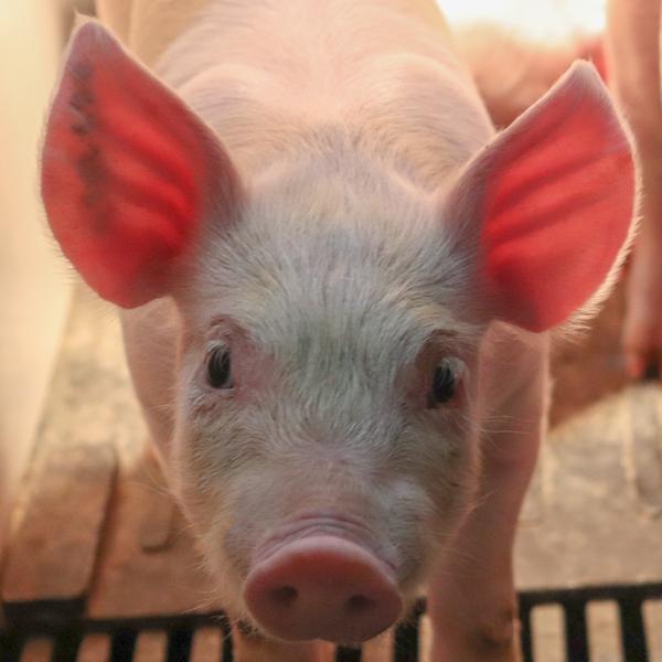 Swine Production Application