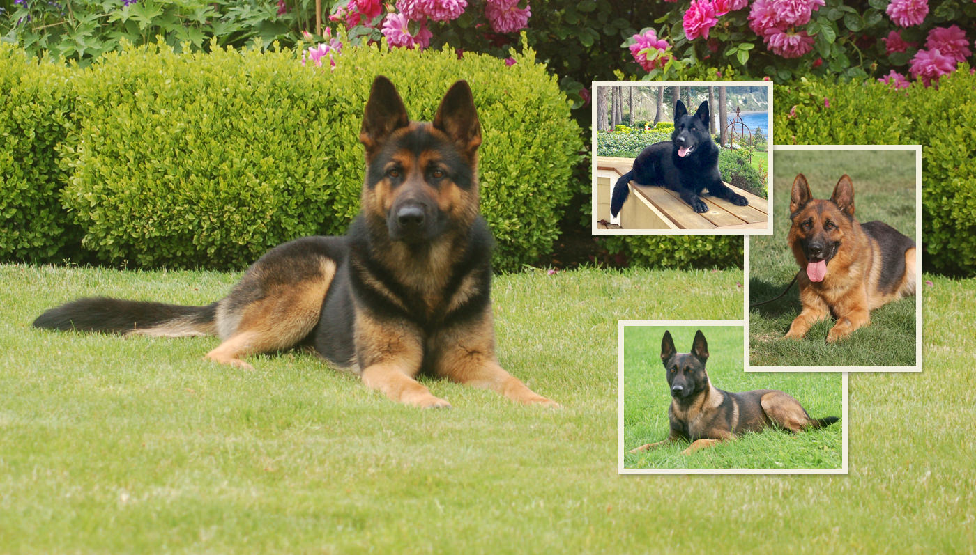CCK9 Protection Dogs Hero Image