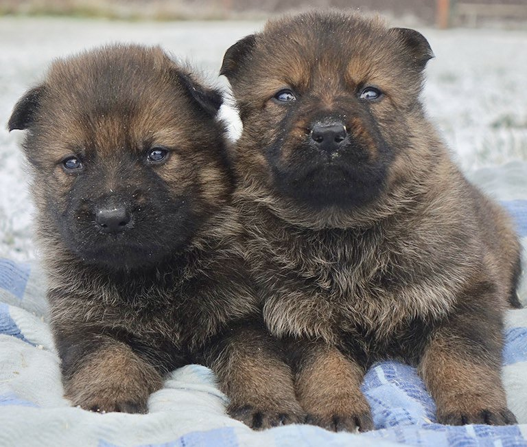 Trained German Shepherd Puppies