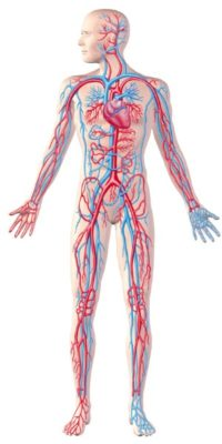human-circulatory-system-full-figure-cutaway-anatomy-illustration-picture-id178028550-2