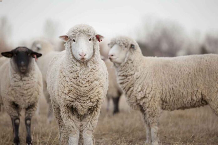 Three white sheep standing in field looking at the camera.