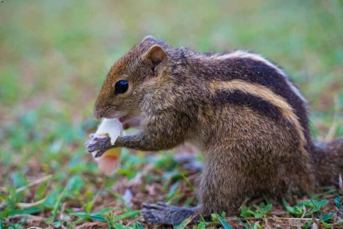Brown and black chipmunk nibbling on a piece of bread.