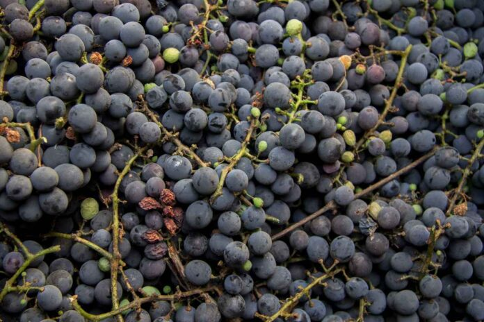 A bunch of dark blue wine grapes after harvest ready to produce wine