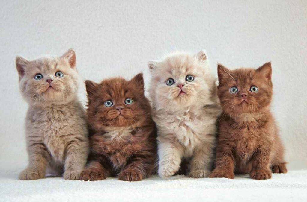 Two beige and two brown kittens (all with blue eyes) sitting in a row.