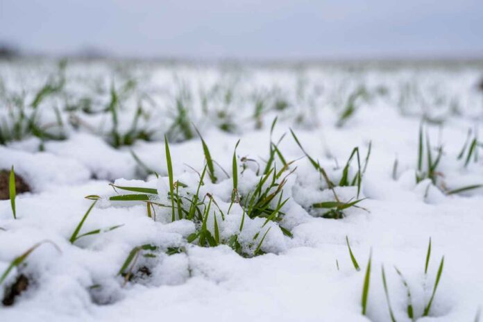 Wheat field covered with snow in winter season. Green wheat shoots coming up from under the snow.