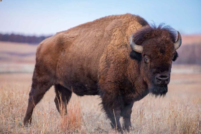 Dark brown American buffalo standing in a field of dry grass.