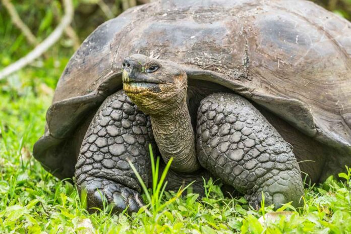 Giant Galapagos tortoise with its head out of its shell.