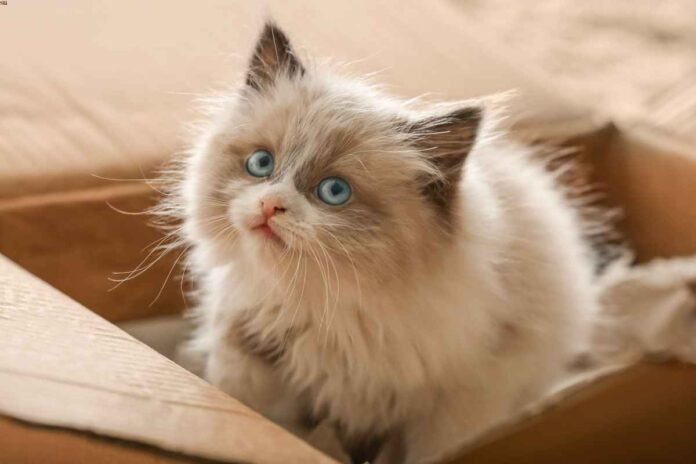 Fluffy white and tan long-haired kitten with blue eyes sitting in a cardboard box.