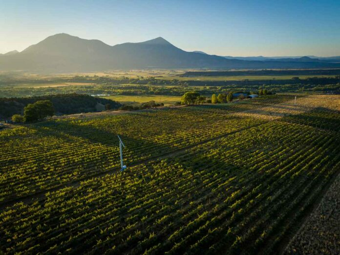 Field planted with rows of green grapevines, with the sun setting over mountains in the background.