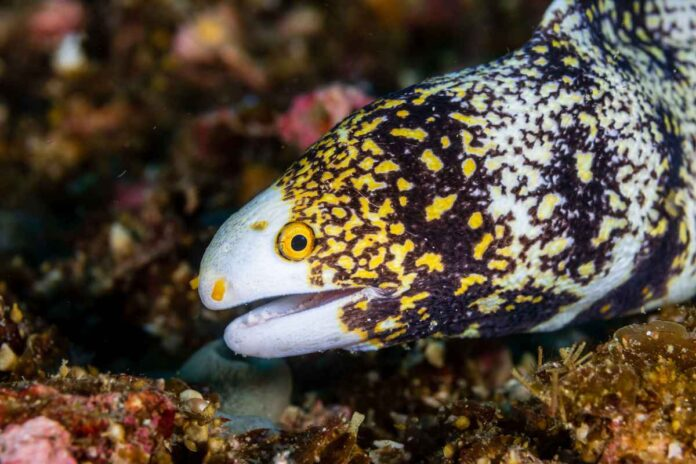 White, black and yellow eel with bright yellow eyes in a coral reef.
