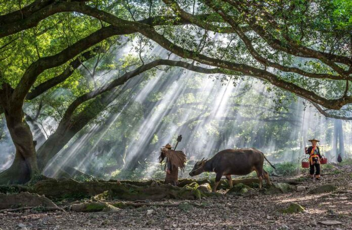 Farmer wearing traditional Chinese clothing going to work with water buffalo under huge banyan tree in misty morning sunshine .