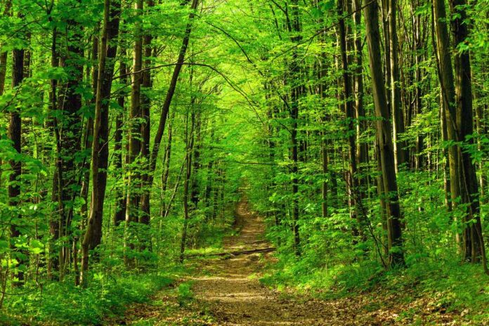 Dirt trail leading into a dense forest with lush green leaves on trees.