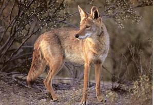 Coyotes are wild animals and should be treated as such. Enjoy them from a distance and do not feed them.