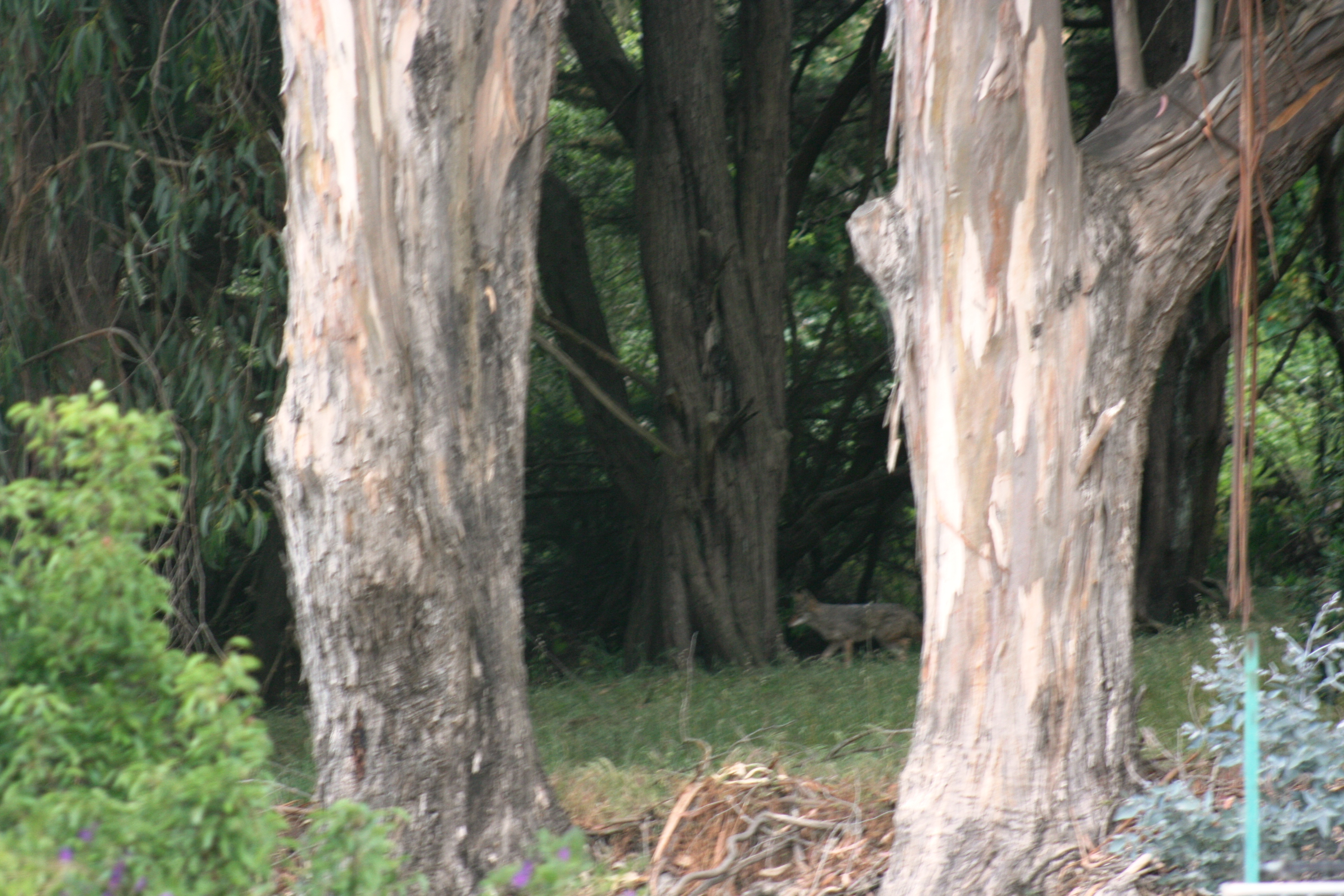 The hidden coyote wandering through a grove of trees near Winston Manor Photo Cynthia Marcopulos
