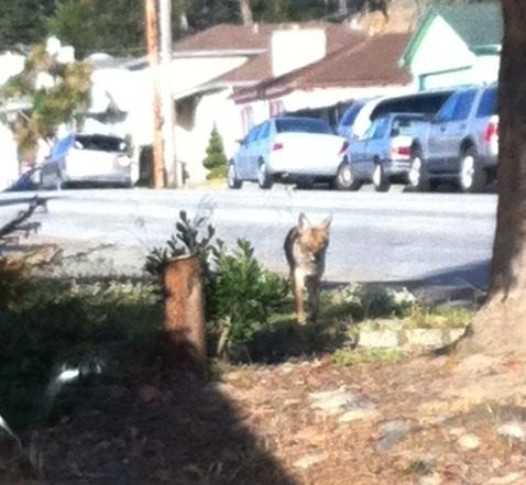 A coyote was walking down Alta Mesa Wednesday morning.  Photo: Melissa Ponelis Kohlmeister