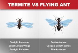 termite vs flying ant