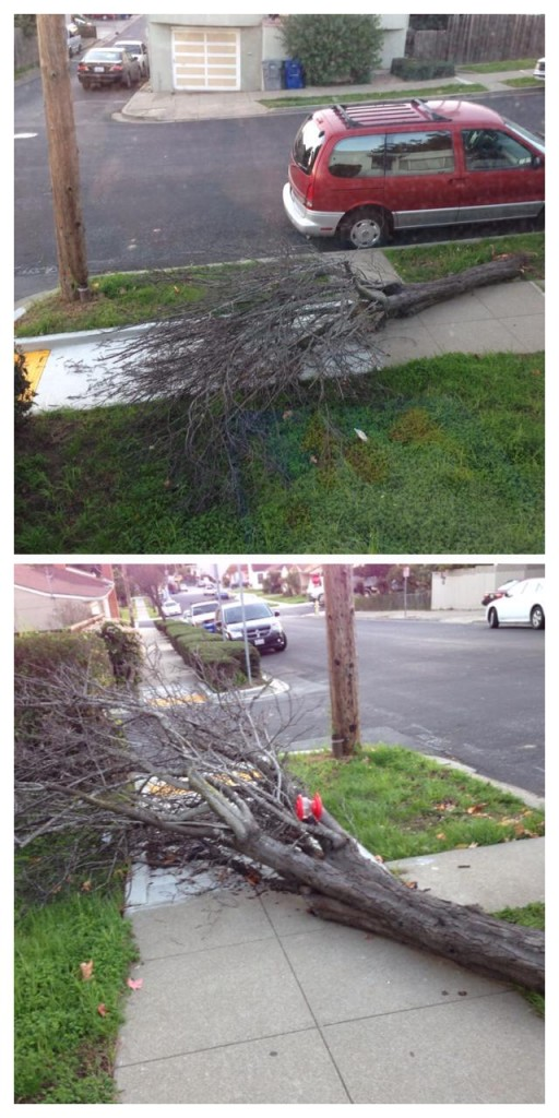 """A favorite family tree was taken out in the strong winds today. Leticia Ortiz Ramirez said """"My family and I loved that tree and we were waiting to see it bloom"""" Photo: Leticia Ortiz Ramirez"""