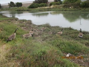 A new generation of geese will enjoy a litter free zone