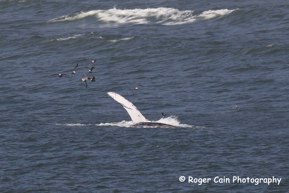 roger.humpbackRoger