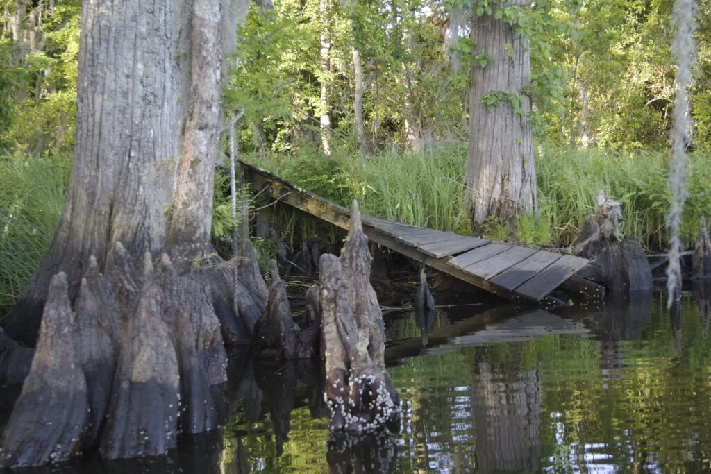 Ruins of a wharf encompassed by knees of bald cypress, Sidney Creek, NC.