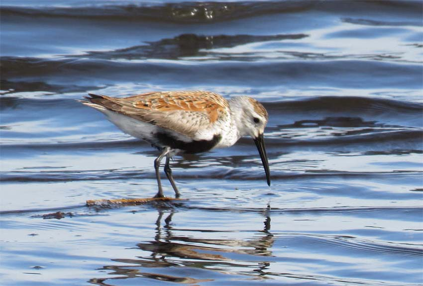 This image has an empty alt attribute; its file name is dunlin-may-4-crocket-2019-for-ws.jpg